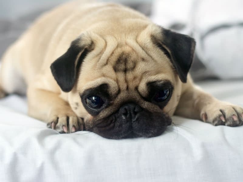 Canine Parvovirus Information